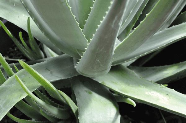 Plante Aloe Vera Cultivation