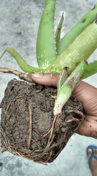 Tranplanter Aloe Vera